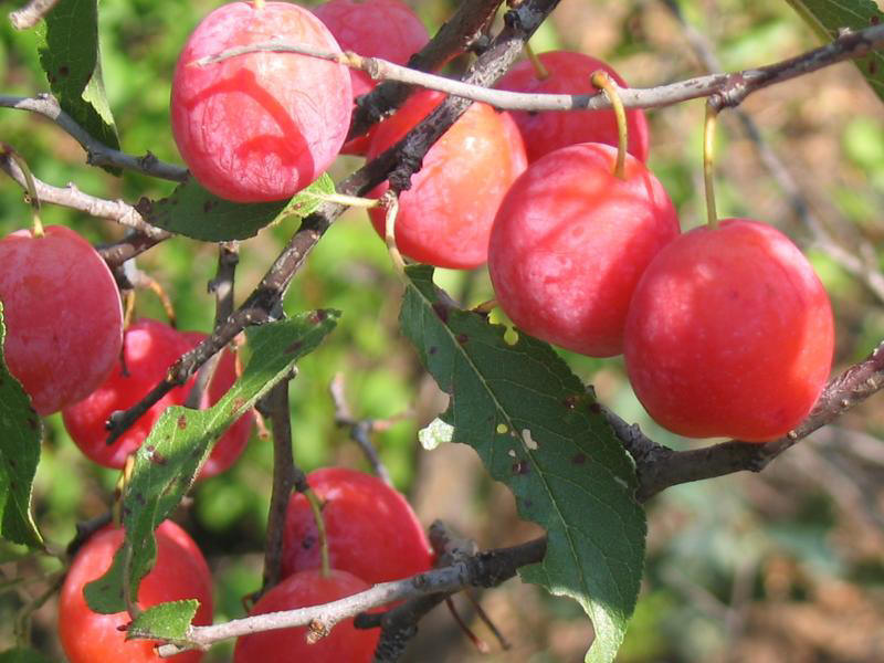 Wild Sand Plum Jelly - Heritage Recipes